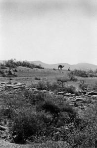 Kaladunga - Typical landscape with camel 3 - mod